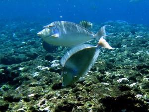 800px-Bluespine_unicornfish_green_island